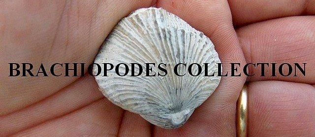 Brachiopodes collection